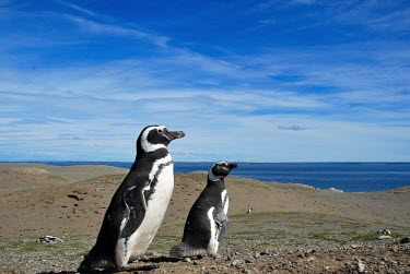 Magellanic penguins penguin,Wild,Spheniscidae,Penguins,Chordates,Chordata,Ciconiiformes,Herons Ibises Storks and Vultures,Aves,Birds,Spheniscus,Terrestrial,Near Threatened,South America,Ocean,Carnivorous,Animalia,magella