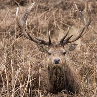 Red deer stag 1 deer,Red deer,Cervus elaphus,stag,antlers,bracken,park,Bushy Park,London,square,Captive,Even-toed Ungulates,Artiodactyla,Cervidae,Deer,Chordates,Chordata,Mammalia,Mammals,Species of Conservation Conce