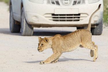 Lion cub on a road Panthera leo,African lion,Wild,Felidae,Cats,Mammalia,Mammals,Carnivores,Carnivora,Chordates,Chordata,leo,Animalia,Savannah,Africa,Scrub,Appendix II,Asia,Panthera,Vulnerable,Desert,Terrestrial,Carnivor