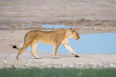 Walking Lioness Panthera leo,African lion,Wild,Felidae,Cats,Mammalia,Mammals,Carnivores,Carnivora,Chordates,Chordata,leo,Animalia,Savannah,Africa,Scrub,Appendix II,Asia,Panthera,Vulnerable,Desert,Terrestrial,Carnivor