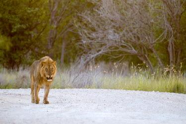 Walking Lion Panthera leo,African lion,Wild,Felidae,Cats,Mammalia,Mammals,Carnivores,Carnivora,Chordates,Chordata,leo,Animalia,Savannah,Africa,Scrub,Appendix II,Asia,Panthera,Vulnerable,Desert,Terrestrial,Carnivor