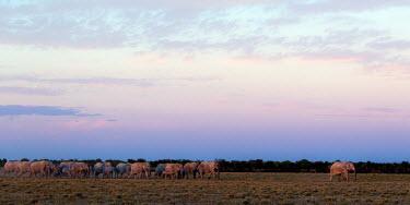 March of the Elephants Loxodonta africana,African bush elephant,Wild,Elephants,Elephantidae,Chordates,Chordata,Elephants, Mammoths, Mastodons,Proboscidea,Mammalia,Mammals,Appendix I,Africa,Appendix II,Savannah,Herbivorous,T