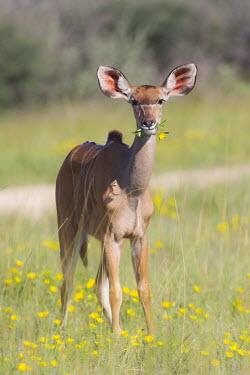 Kudu with a flower Tragelaphus strepsiceros,Greater kudu,Wild,Bovidae,Bison, Cattle, Sheep, Goats, Antelopes,Chordates,Chordata,Even-toed Ungulates,Artiodactyla,Mammalia,Mammals,Herbivorous,strepsiceros,Scrub,Animalia,A