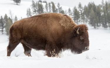 Bison in the Snow Bison bison,American bison,Wild,Mammalia,Mammals,Bovidae,Bison, Cattle, Sheep, Goats, Antelopes,Even-toed Ungulates,Artiodactyla,Chordates,Chordata,bison,North America,Temperate,Coniferous,Animalia,Te