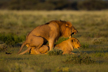 Mating Lions Panthera leo,African lion,Wild,Felidae,Cats,Mammalia,Mammals,Carnivores,Carnivora,Chordates,Chordata,leo,Animalia,Savannah,Africa,Scrub,Appendix II,Asia,Panthera,Vulnerable,Desert,Terrestrial,Carnivor