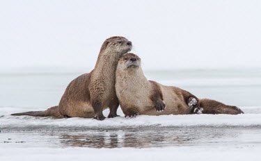 River Otters Lontra canadensis,North American river otter,Wild,North American otter,Carnivores,Carnivora,Mammalia,Mammals,Weasels, Badgers and Otters,Mustelidae,Chordates,Chordata,Northern river otter,Nutria Norte