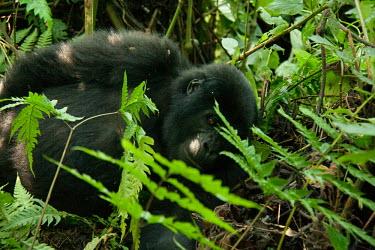 Male Mountain Gorilla (5 y.o.) - Bwindi Impenatrable Forest, Uganda Primate,Gorilla,Male,Bwindi Impenatrable Forest,Uganda,Chordates,Chordata,Primates,Mammalia,Mammals,Hominids,Hominidae,Rainforest,Endangered,Africa,Animalia,beringei,Terrestrial,Herbivorous,IUCN Red L