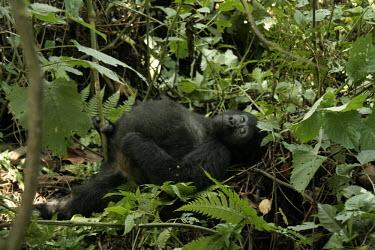Young male gorilla Primate,Gorilla,Male,Young,Bwindi Impenatrable Forest,Uganda,Chordates,Chordata,Primates,Mammalia,Mammals,Hominids,Hominidae,Rainforest,Endangered,Africa,Animalia,beringei,Terrestrial,Herbivorous,IUCN