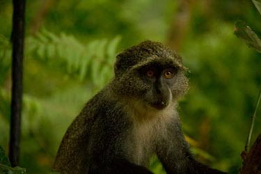 Zanzibar Sykes's monkey Primate,Close up,Zanzibar,Tanzania,Chordates,Chordata,Old World Monkeys,Cercopithecidae,Primates,Mammalia,Mammals,Terrestrial,Animalia,Omnivorous,Least Concern,Forest,Africa,Cercopithecus,IUCN Red Lis