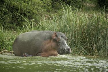 Hippopotamus mother and calf Mother,Calf,Hippopotamidae,Hippopotamuses,Mammalia,Mammals,Even-toed Ungulates,Artiodactyla,Chordates,Chordata,Appendix II,Aquatic,Ponds and lakes,Omnivorous,Hippopotamus,Cetartiodactyla,Vulnerable,am