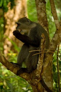 Zanzibar Sykes's monkey Primate,Feeding,Zanzibar,Tanzania,Chordates,Chordata,Old World Monkeys,Cercopithecidae,Primates,Mammalia,Mammals,Terrestrial,Animalia,Omnivorous,Least Concern,Forest,Africa,Cercopithecus,IUCN Red List