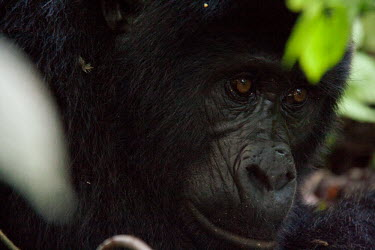 Male Mountain Gorilla Primate,Gorilla,Male,Bwindi Impenatrable Forest,Uganda,Chordates,Chordata,Primates,Mammalia,Mammals,Hominids,Hominidae,Rainforest,Endangered,Africa,Animalia,beringei,Terrestrial,Herbivorous,IUCN Red L