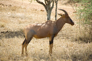 Topi Serengeti National Park,Tanzania,Chordates,Chordata,Mammalia,Mammals,Bovidae,Bison, Cattle, Sheep, Goats, Antelopes,Savannah,Cetartiodactyla,Vulnerable,Herbivorous,Africa,Animalia,Damaliscus,Terrestri