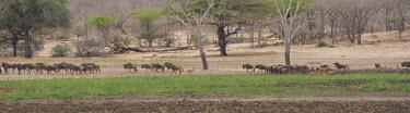 Wildebeests Habitat,Tanzania,Group,Mammalia,Mammals,Even-toed Ungulates,Artiodactyla,Bovidae,Bison, Cattle, Sheep, Goats, Antelopes,Chordates,Chordata,Animalia,Cetartiodactyla,taurinus,Herbivorous,Desert,Least Co