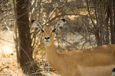 Female Impala Female,Tanzania,impala,ungulates,Chordates,Chordata,Even-toed Ungulates,Artiodactyla,Bovidae,Bison, Cattle, Sheep, Goats, Antelopes,Mammalia,Mammals,Aepyceros,Animalia,Africa,Terrestrial,Vulnerable,Sa