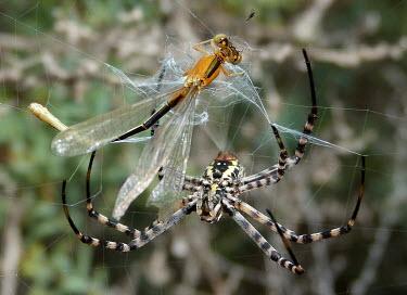 Banded garden spider (Argiope trifasciata) Banded garden spider,Argiope trifasciata