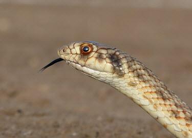 Moila snake (Rhagerhis moilensis) Moila snake,Rhagerhis moilensis