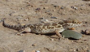 Baluch ground gecko (Bunopus tuberculatus) Baluch ground gecko,Bunopus tuberculatus,Gekkonidae,Geckos,Reptilia,Reptiles,Chordates,Chordata,Squamata,Lizards and Snakes,Bunopus biporus,Alsophylax blanfordii,Bunopus gabrielis,Bunopus blanfordii,A