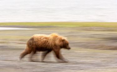 A Bears Walk Ursus arctos middendorffi,Kodiak bear,Wild