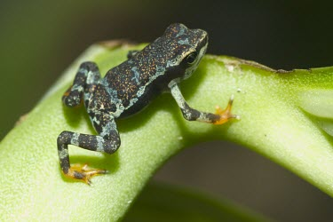 Captive bred juvenile Pirre Mountain frog Various larval or tadpole stages,Rainforest,glyphus,Streams and rivers,Terrestrial,Amphibia,Animalia,Chordata,Anura,Bufonidae,Atelopus,Critically Endangered,South America,IUCN Red List