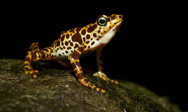 Male Toad Mountain harlequin frog calling Mating or Territorial calls,What does it sound like ?,Terrestrial,British Red Data Book,Chordata,Endangered,Sub-tropical,South America,Anura,Animalia,Fresh water,Aquatic,Tropical,Streams and rivers,Am