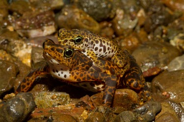 Toad Mountain harlequin frog pair in amplexus Mating or Reproductive Act,Reproduction,Terrestrial,British Red Data Book,Chordata,Endangered,Sub-tropical,South America,Anura,Animalia,Fresh water,Aquatic,Tropical,Streams and rivers,Amphibia,Forest,
