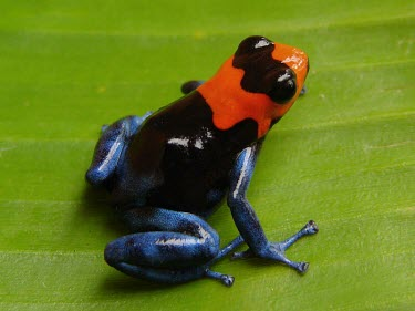 Blessed poison frog Adult,Tropical,South America,Chordata,Sub-tropical,Terrestrial,IUCN Red List,Carnivorous,Anura,Aquatic,Amphibia,Fresh water,Ranitomeya,Forest,Vulnerable,Animalia,Dendrobatidae