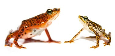 Toad Mountain harlequin frog female, left, and male, right Adult,Adult Male,Adult Female,Terrestrial,British Red Data Book,Chordata,Endangered,Sub-tropical,South America,Anura,Animalia,Fresh water,Aquatic,Tropical,Streams and rivers,Amphibia,Forest,Atelopus,B