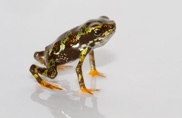 Side profile of juvenile Toad Mountain harlequin frog Various larval or tadpole stages,Terrestrial,British Red Data Book,Chordata,Endangered,Sub-tropical,South America,Anura,Animalia,Fresh water,Aquatic,Tropical,Streams and rivers,Amphibia,Forest,Atelopu