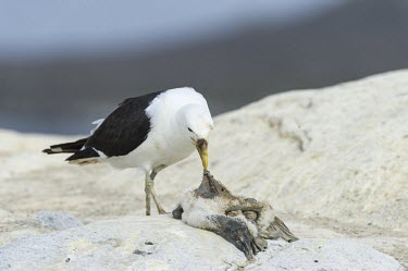 Kelp Gull feeding on a dead Cape Gannet chick Feeding,Feeding behaviour,Laridae,Gulls, Terns,Aves,Birds,Chordates,Chordata,Ciconiiformes,Herons Ibises Storks and Vultures,Antarctic,dominicanus,South America,Flying,Coastal,Animalia,Larus,Terrestri