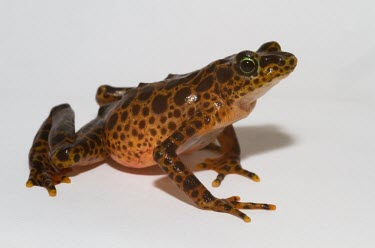 Toad Mountain harlequin frog female Adult,Adult Female,Terrestrial,British Red Data Book,Chordata,Endangered,Sub-tropical,South America,Anura,Animalia,Fresh water,Aquatic,Tropical,Streams and rivers,Amphibia,Forest,Atelopus,Bufonidae,IU