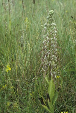 Lizard orchid inflorescence Flower,Mature form,Scrub,Terrestrial,Symbiotic,Photosynthetic,Tracheophyta,Plantae,Temperate,Europe,Liliopsida,Orchidales,Urban,Grassland,Wildlife and Conservation Act,Vulnerable,Sand-dune,Orchidaceae