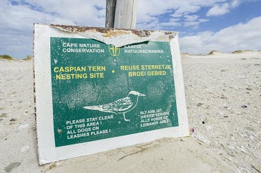 Caspian Tern nesting sites Conservation,Ciconiiformes,Herons Ibises Storks and Vultures,Laridae,Gulls, Terns,Chordates,Chordata,Aves,Birds,Sterna,Europe,South America,Flying,Charadriiformes,Shore,Coastal,Asia,caspia,Animalia,Le