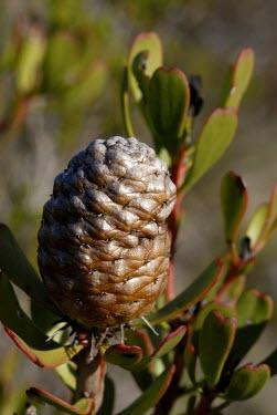 Leucadendron muirii cone Seeds,Proteaceae,Tracheophyta,Plantae,Photosynthetic,Africa,Magnoliopsida,Terrestrial,Leucadendron,Proteales