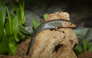 Bermuda skink on rock Adult,Chordates,Chordata,Reptilia,Reptiles,Squamata,Lizards and Snakes,Scincidae,Skinks,Shore,Eumeces,longirostris,North America,Carnivorous,Animalia,Terrestrial,Urban,Critically Endangered,IUCN Red L