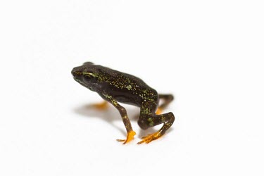 Toad Mountain harlequin frog juvenile Various larval or tadpole stages,Terrestrial,British Red Data Book,Chordata,Endangered,Sub-tropical,South America,Anura,Animalia,Fresh water,Aquatic,Tropical,Streams and rivers,Amphibia,Forest,Atelopu
