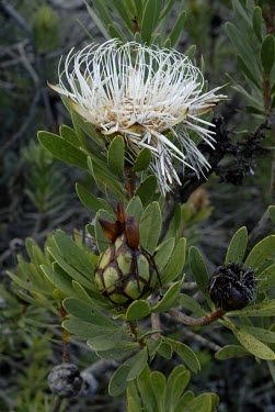 Protea aurea potbergensis flower heads Flower,Mature form,Photosynthetic,Terrestrial,Proteaceae,Proteales,Magnoliopsida,Plantae,Tracheophyta,Protea,Africa