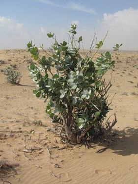 Calotropis procera in habitat Mature form,Not Evaluated,Photosynthetic,Asia,Terrestrial,Magnoliopsida,Gentianales,Tracheophyta,Plantae,Calotropis,Asclepiadaceae