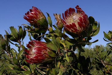 Protea obtusifolia in flower Flower,Mature form,Tracheophyta,Magnoliopsida,Terrestrial,Protea,Africa,Proteaceae,Plantae,Photosynthetic,Proteales