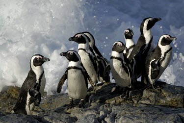 Group of African penguins on rock Marine,Habitat,Adult,Seashore,Species in habitat shot,Spheniscus,Carnivorous,Sphenisciformes,Rock,Terrestrial,demersus,Aves,Ocean,Endangered,Chordata,Africa,Coastal,Animalia,Convention on Migratory Sp