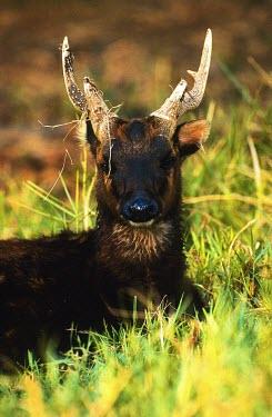 Male Visayan spotted deer portrait Adult,Adult Male,Cervidae,Deer,Even-toed Ungulates,Artiodactyla,Chordates,Chordata,Mammalia,Mammals,Terrestrial,Animalia,Endangered,Asia,Rusa,Cetartiodactyla,Herbivorous,alfredi,IUCN Red List