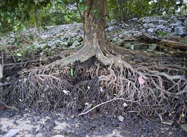 Dhundal tree roots exposed by erosion Survival Adaptations,Mature form,Physical protection,Magnoliopsida,Plantae,Forest,Terrestrial,Least Concern,Africa,Tropical,Australia,Photosynthetic,Tracheophyta,Meliaceae,Sapindales,IUCN Red List,Asi