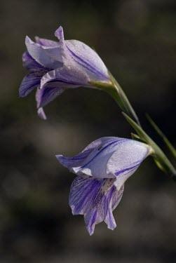 Gladiolus gracillis flowers Flower,Photosynthetic,Terrestrial,Iridaceae,Liliopsida,Liliales,Gladiolus,Africa,Plantae,Tracheophyta