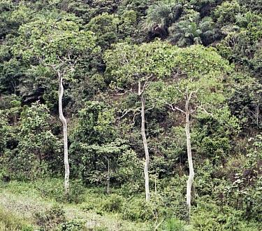 Hallea stipulosa trees Plantae,Rubiaceae,Magnoliopsida,Tracheophyta,Vulnerable,Rubiales,stipulosa,Photosynthetic,Hallea,Sub-tropical,Terrestrial,Africa,IUCN Red List