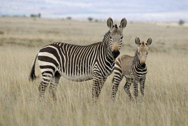 Cape mountain zebra with foal Infant,Adult,Equus,Terrestrial,Semi-desert,zebra,Vulnerable,Equidae,Mountains,Herbivorous,Africa,Appendix II,Mammalia,Chordata,Appendix I,Perissodactyla,Animalia,IUCN Red List