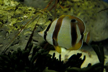 Double sash butterflyfish on reef Adult,marleyi,Vulnerable,Ocean,Chaetodon,Atlantic,Perciformes,Chaetodontidae,Africa,Aquatic,Chordata,Animalia,Actinopterygii,IUCN Red List,Least Concern