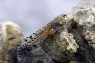 Mallorcan midwife toad tadpole with hind legs, side view Reproduction,Various larval stages,Various larval or tadpole stages,Terrestrial,Discoglossidae,muletensis,Anura,Critically Endangered,Europe,Animalia,Chordata,Aquatic,Streams and rivers,Alytes,Carnivo