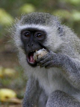 Vervet feeding on marlua fruit Feeding,Feeding behaviour,Primates,Chordates,Chordata,Old World Monkeys,Cercopithecidae,Mammalia,Mammals,pygerythrus,Terrestrial,Arboreal,Least Concern,Sub-tropical,Appendix II,Tropical,Africa,Savanna