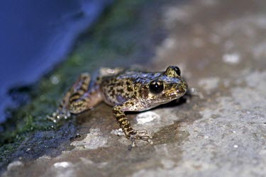 Mallorcan midwife toad, crawling onto rock from water Adult,Terrestrial,Discoglossidae,muletensis,Anura,Critically Endangered,Europe,Animalia,Chordata,Aquatic,Streams and rivers,Alytes,Carnivorous,Amphibia,IUCN Red List,Vulnerable