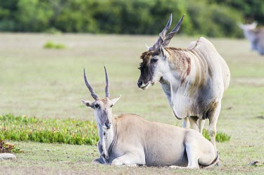 Eland bull watching over an eland cow that he is pairing with Reproduction,Africa,Bovidae,Least Concern,Tragelaphus,Chordata,Semi-desert,Terrestrial,Animalia,Desert,Herbivorous,Savannah,oryx,Cetartiodactyla,Mammalia,IUCN Red List